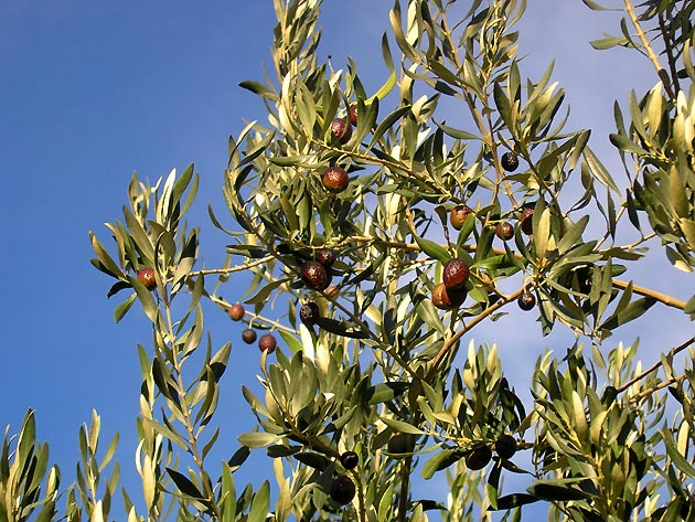 http://www.provence.guideweb.com/photos/images/olives-olives03.jpg